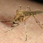 Swamp Mosquito